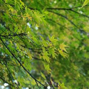 吉野山の青紅葉